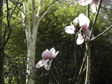 magnoliaclose